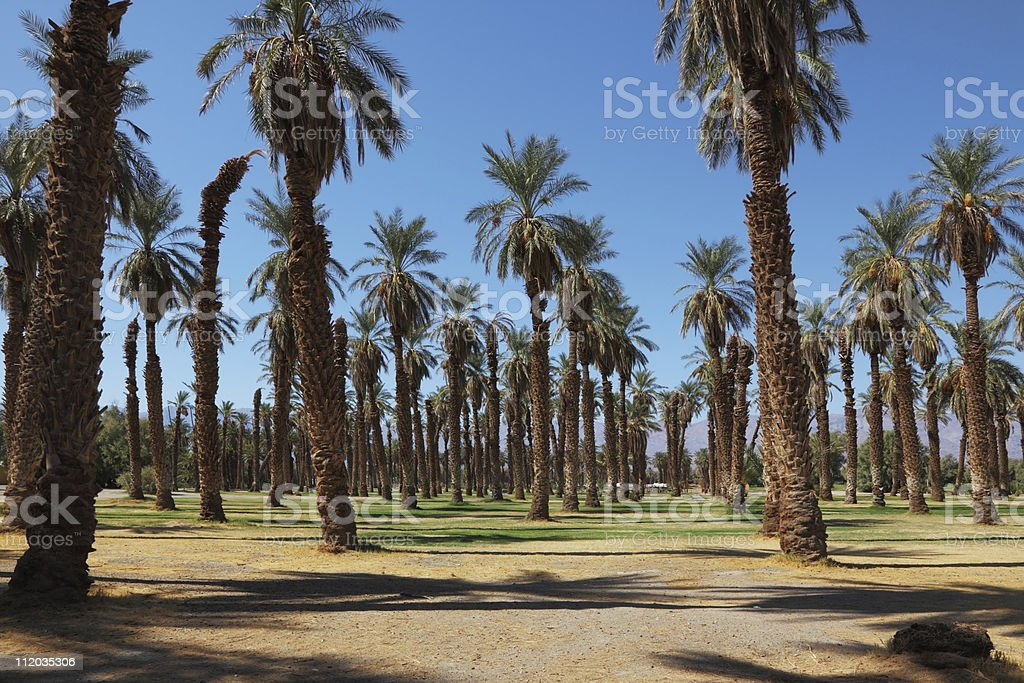 Palm grove in the oasis Furnace Creek stock photo