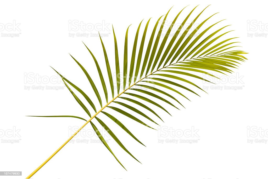 Palm leaf against white background stock photo