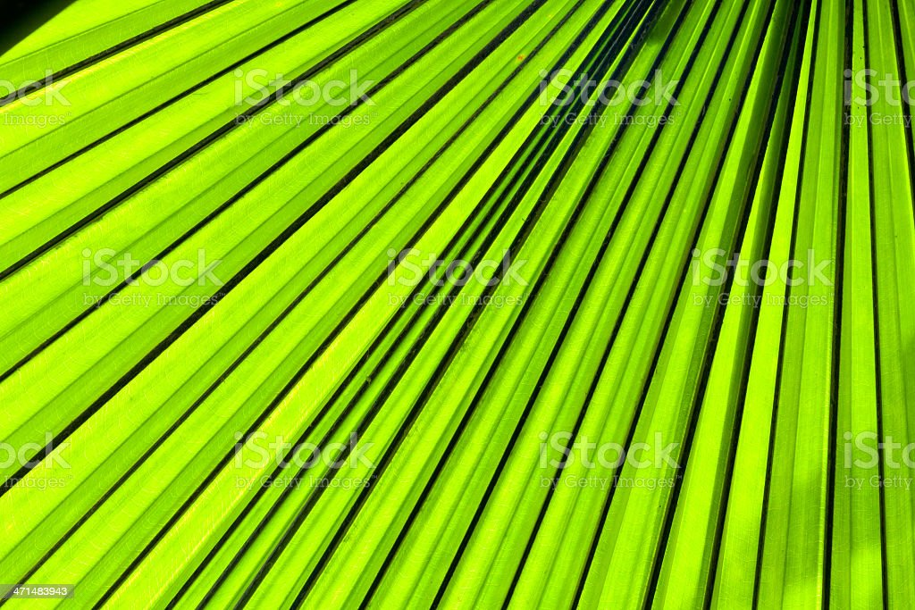 palm leaf backlit with sunlight royalty-free stock photo