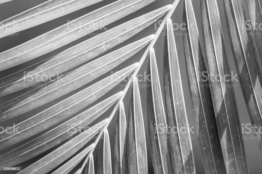 Palm Leaf Black and White stock photo