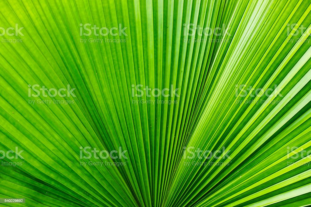 Palm leaf blade texture background stock photo