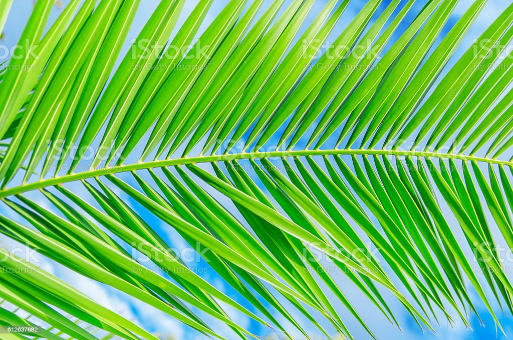 Palm leaf close with clean sky background stock photo