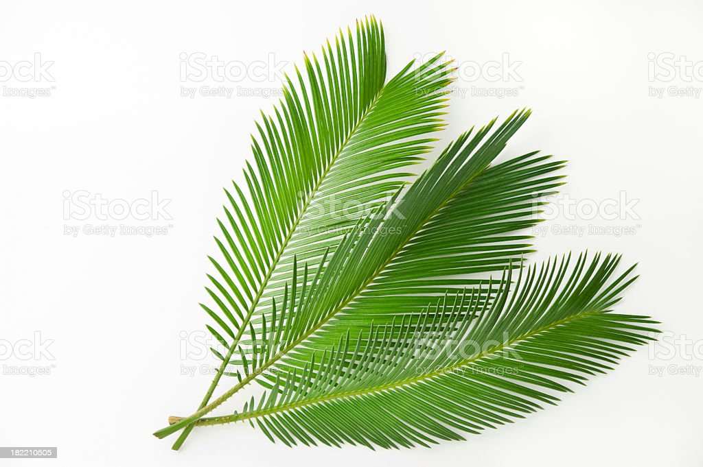 Palm leaf Cycas on a white background stock photo
