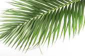palm leaf pattern texture on white background