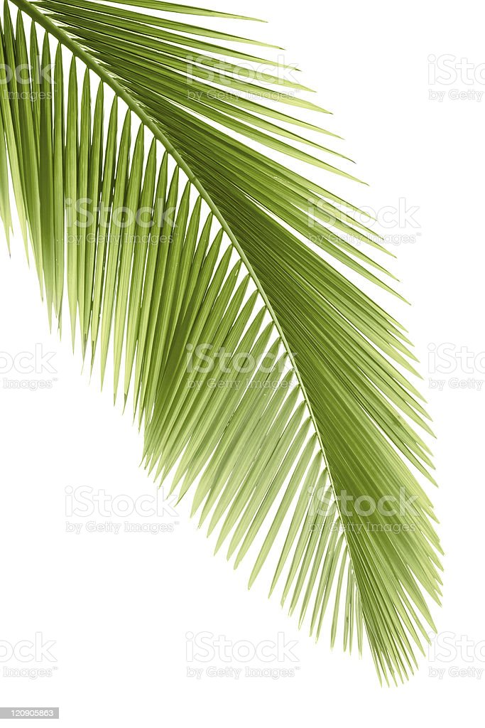 Palm leaf royalty-free stock photo