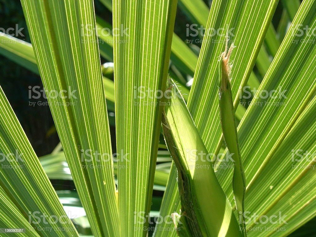 Palm Leaf #1 royalty-free stock photo