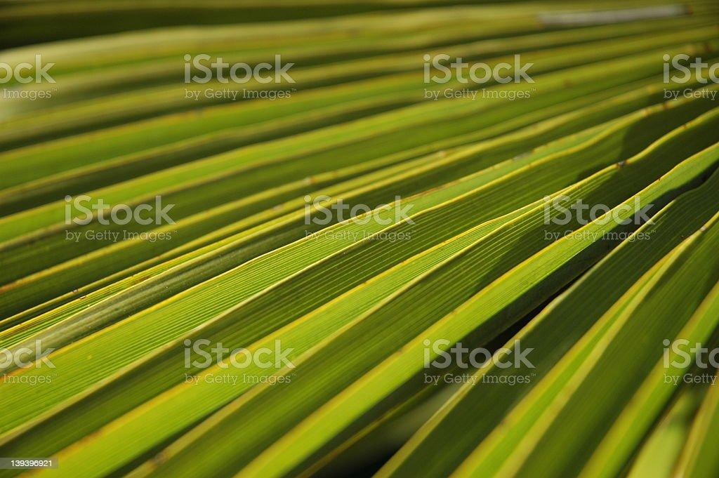 Palm Leaf #4 royalty-free stock photo
