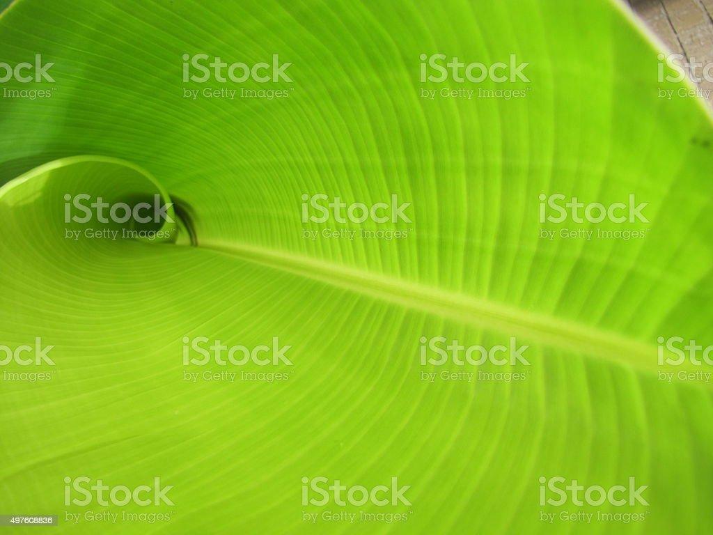 Palm leaf unfurling background close-up stock photo