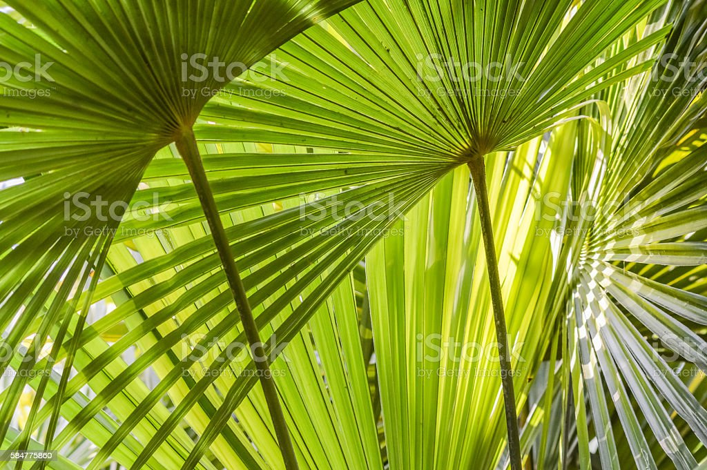 palm leaves close up - background stock photo