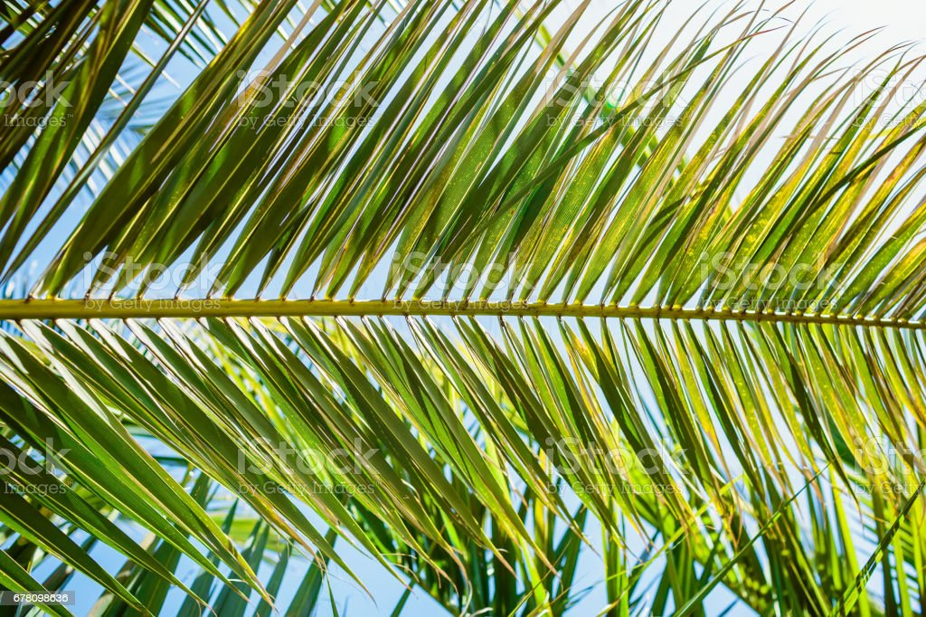 Palm leaves in tropics and sun light, natural texture. Tropical palm and sky stock photo