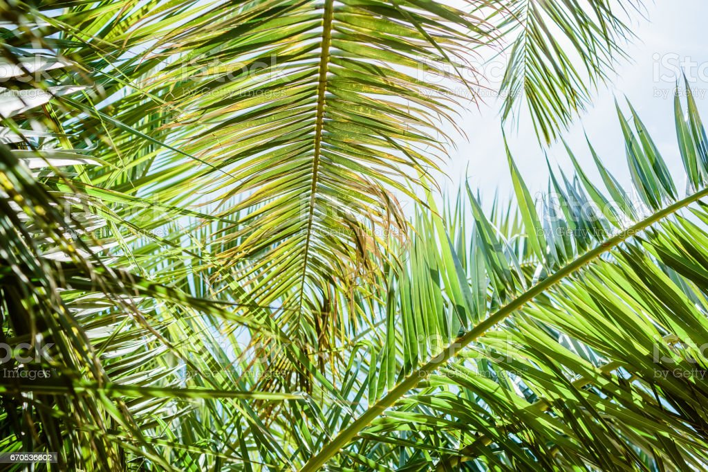 Palm leaves in tropics, natural texture. Palm and sky stock photo