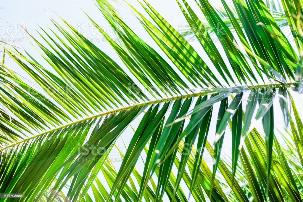 Palm leaves in tropics, natural texture. Tropical palm and sky stock photo