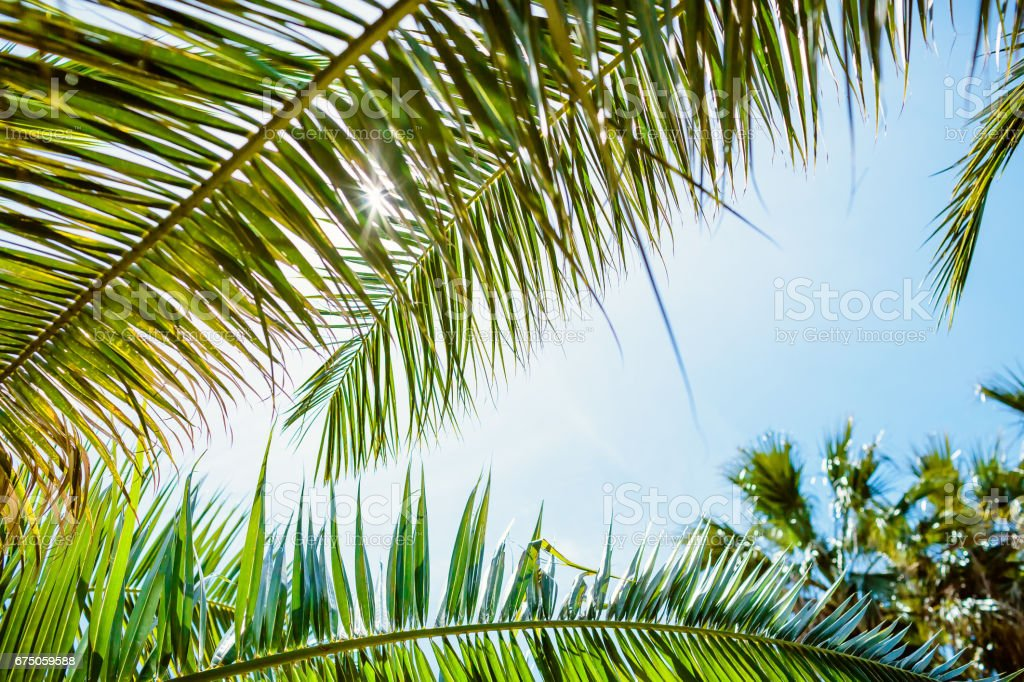 Palm leaves in tropics. Tropical palm and blue sky stock photo