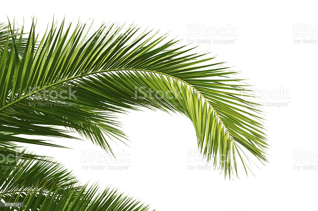Palm leaves isolated on a white background stock photo