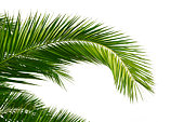 Palm leaves isolated on a white background