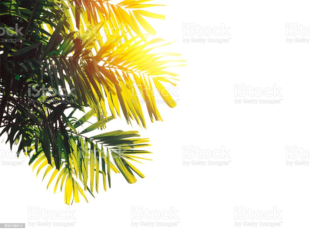 palm leaves  isolated stock photo