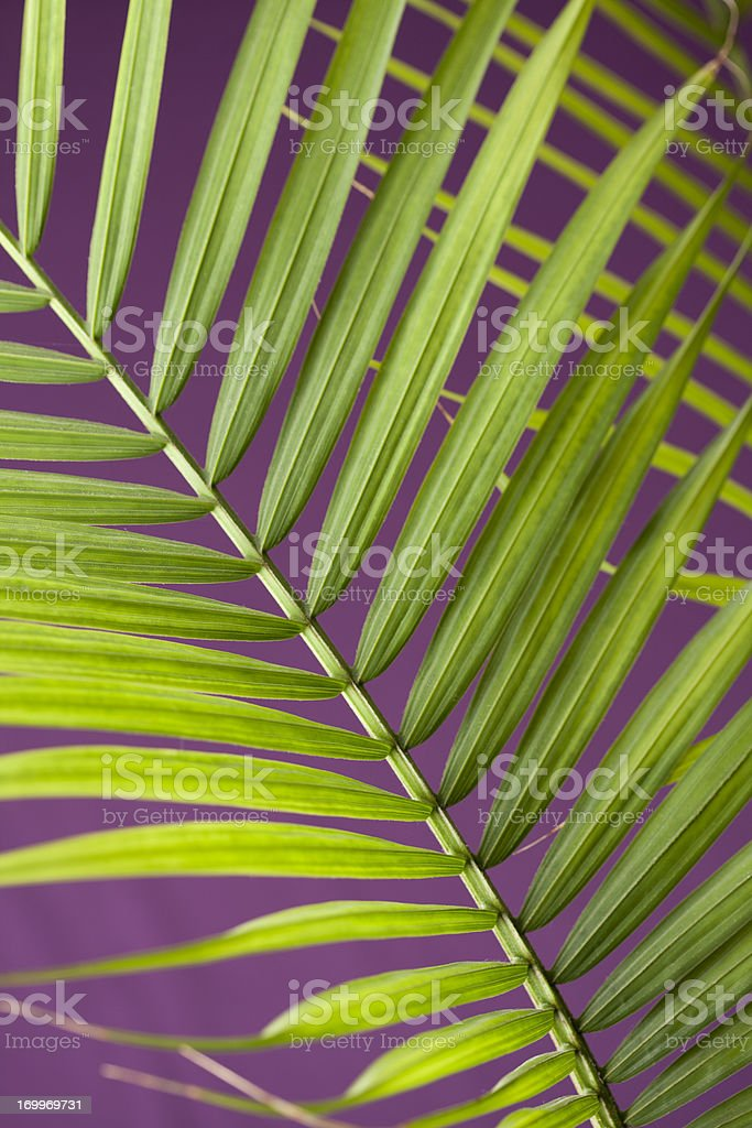 Palm Leaves on Purple Background royalty-free stock photo