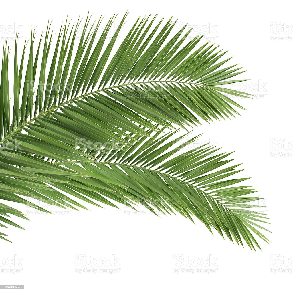 Palm leaves on white background royalty-free stock photo