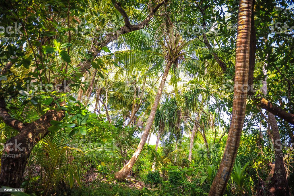 Palm leaves.Tropical Forest on the island in indian ocean.Beautiful landscape of humid tropical jungle .Picture of a tropical forest background stock photo