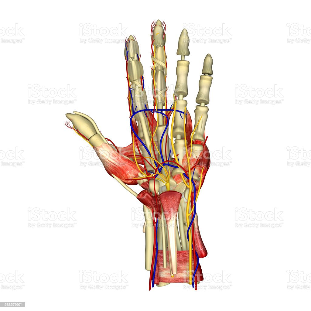 Palm muscles stock photo