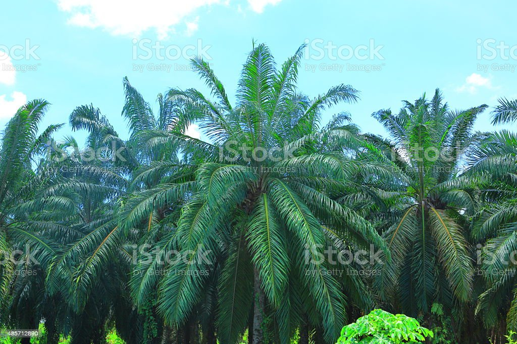 Palm Oil Agriculture stock photo