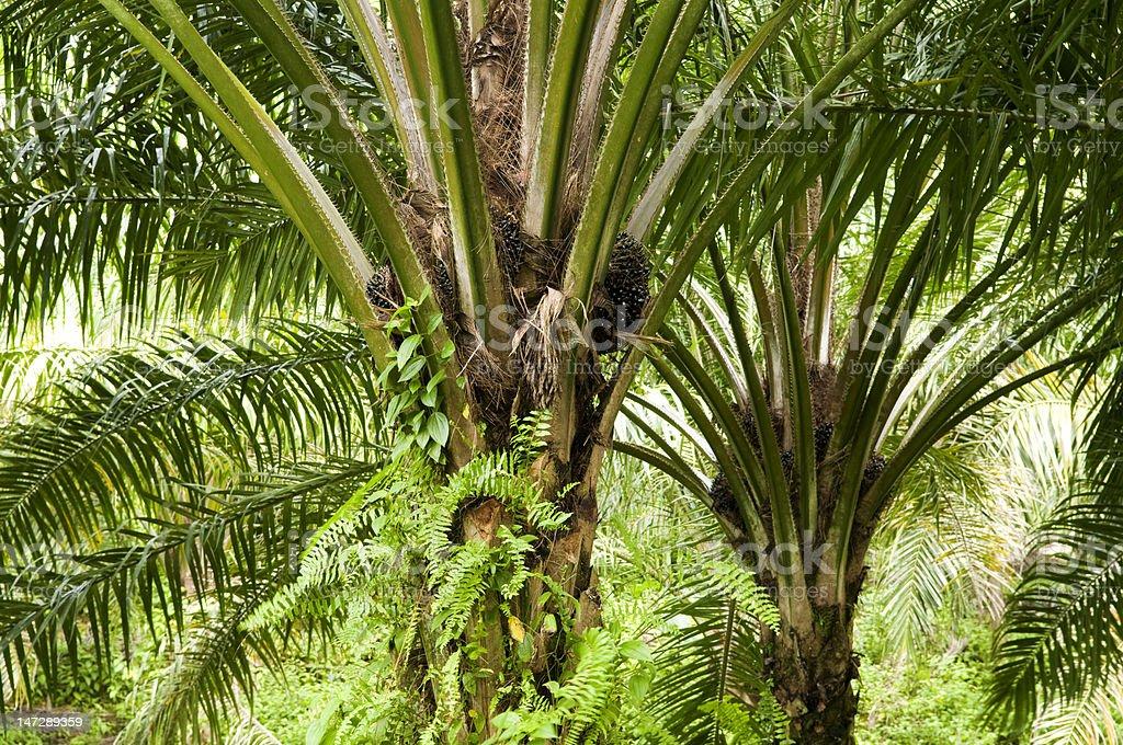 Palm Oil Plantation royalty-free stock photo