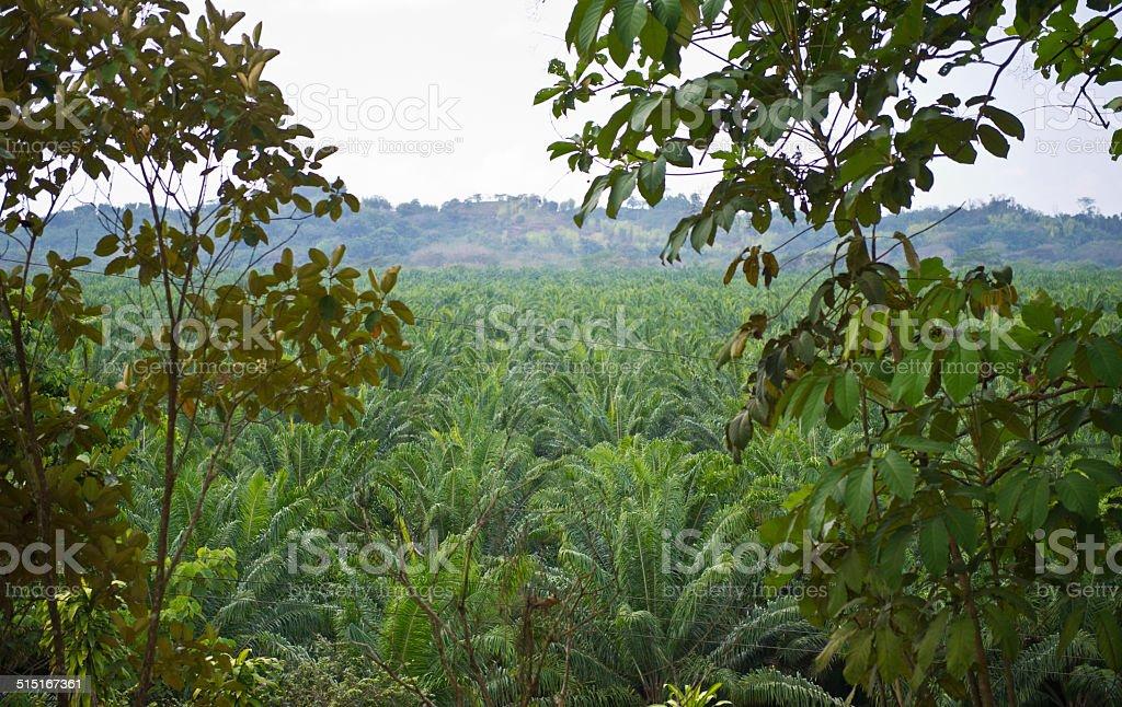 Palm Oil Plantation, Silencio, Costa Rica stock photo