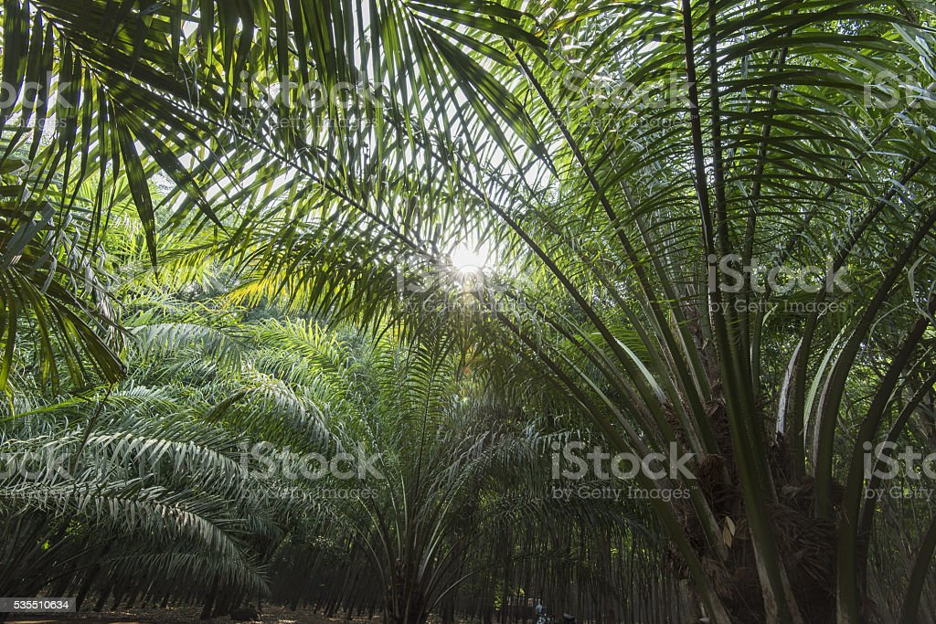 Palm oil plantation with sunlight streaking through leaves Asia stock photo