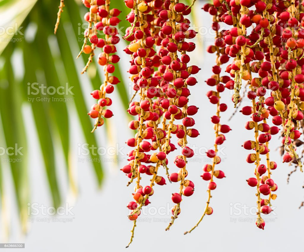 Palm or Red Betel Nuts seed stock photo