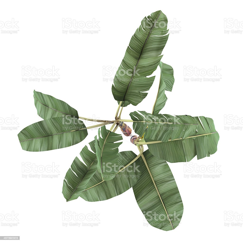 Palm plant isolated. Musa acuminata banana top stock photo