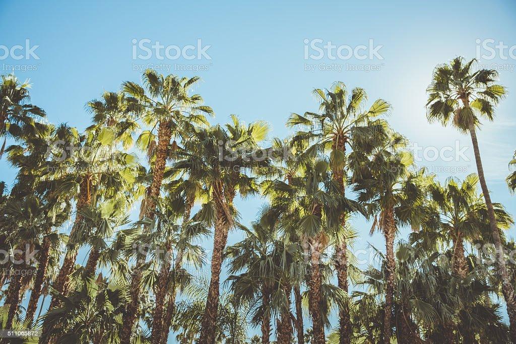 Palm Springs Movie Colony Palm Trees stock photo