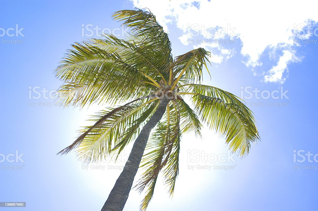 palm tree 1 - from series royalty-free stock photo