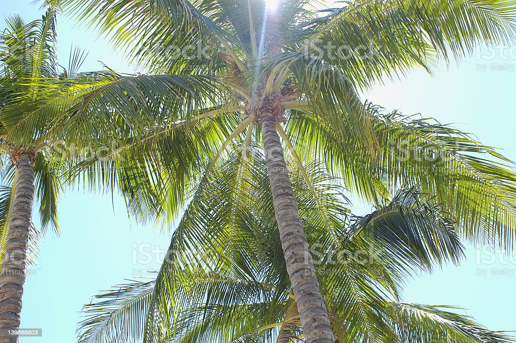 palm tree 2 - from series royalty-free stock photo