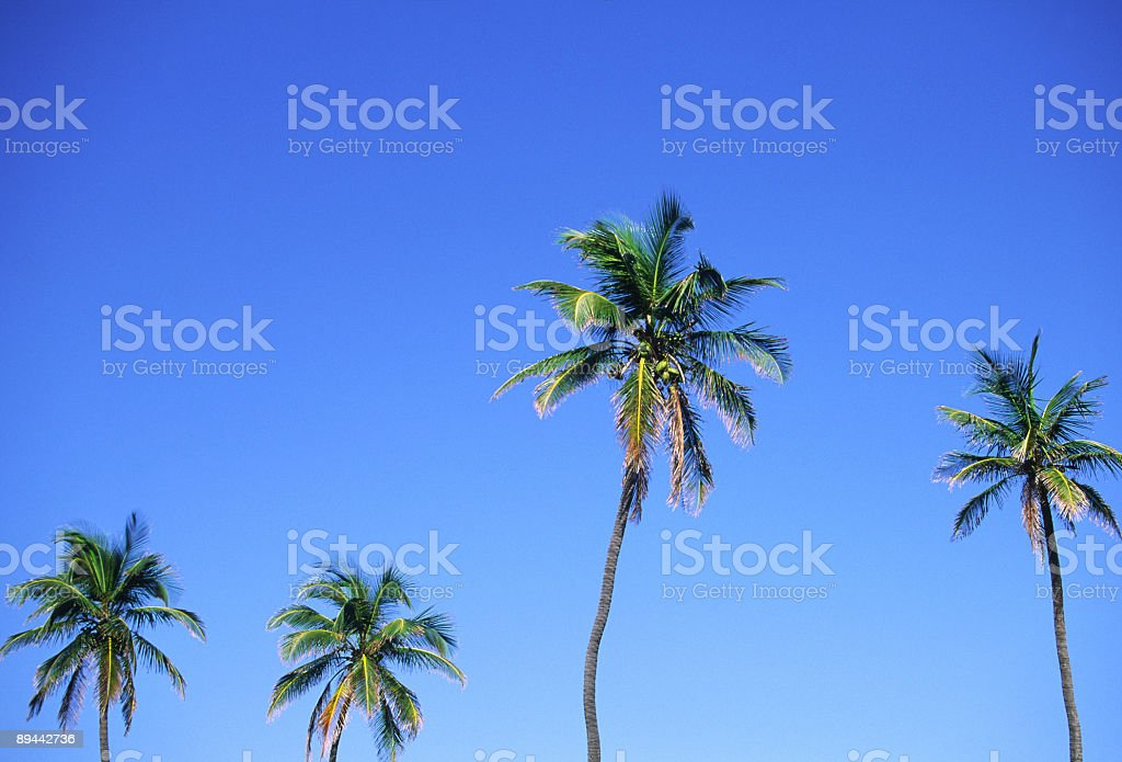 Palm tree against the blue sky royalty-free stock photo