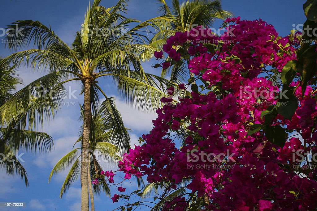 palm tree and bouganvillea royalty-free stock photo