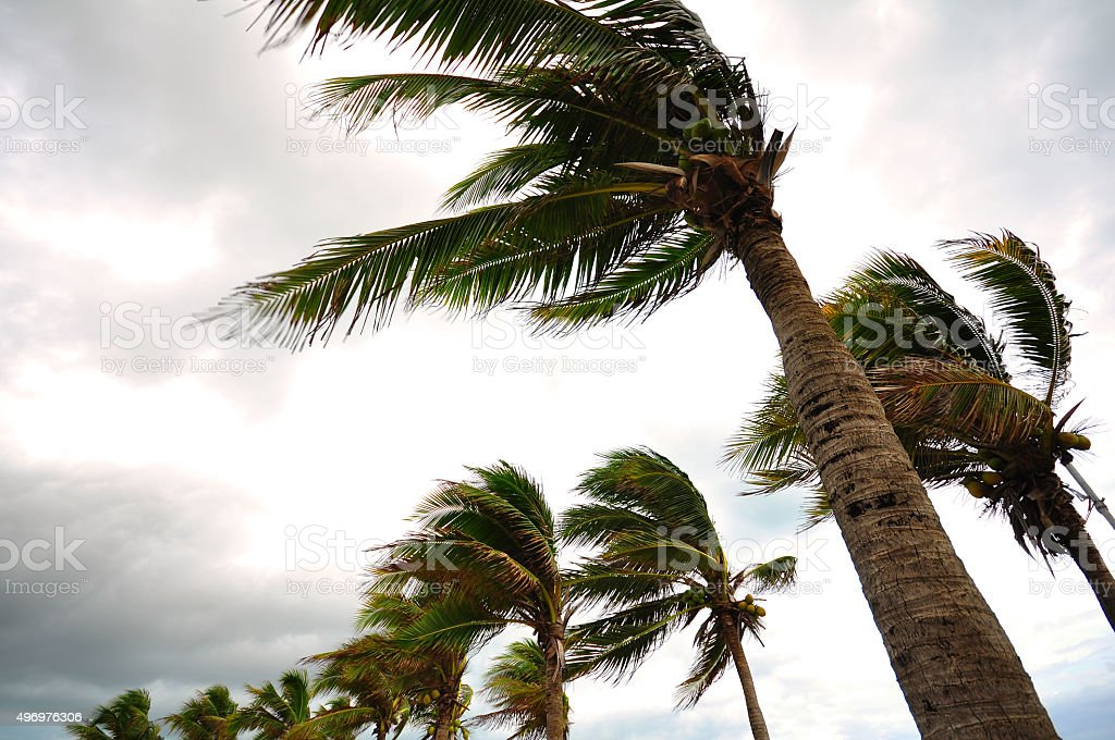 Palm tree at the hurricane stock photo