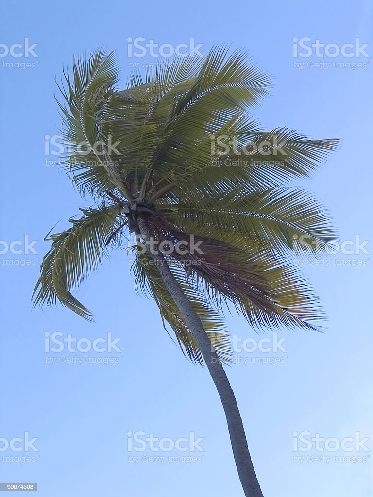 palm tree at the wind royalty-free stock photo