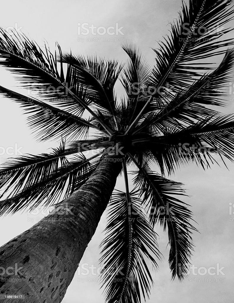 palm tree black and white stock photo