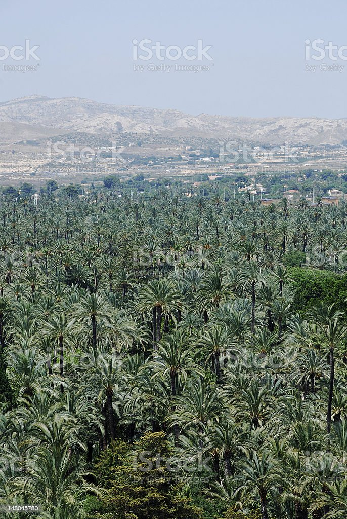 Palm tree forest in Elche royalty-free stock photo