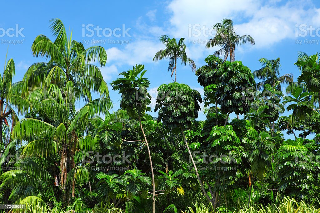 Palm tree forest royalty-free stock photo