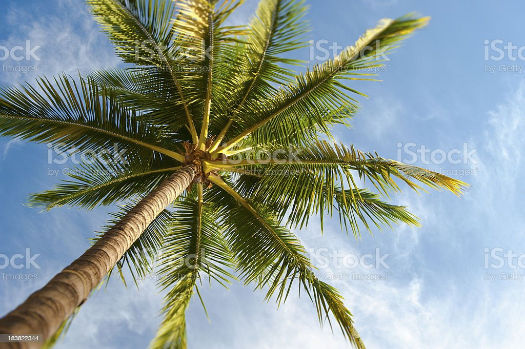 Palm Tree From Below royalty-free stock photo