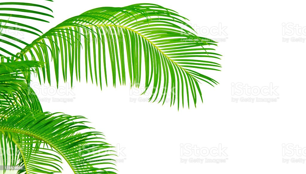 Palm Tree Fronds on white background royalty-free stock photo