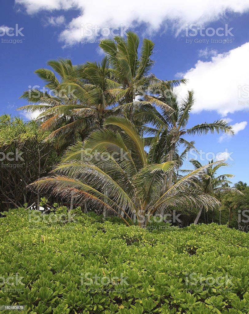 Palm tree garden on Hawaii stock photo