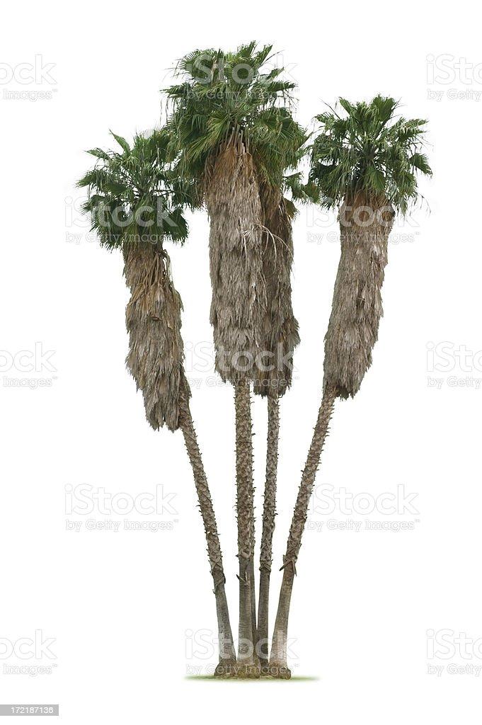 Palm Tree Group royalty-free stock photo