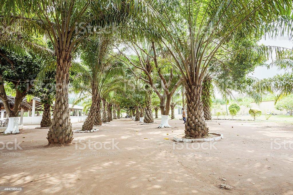Palm tree grove. stock photo