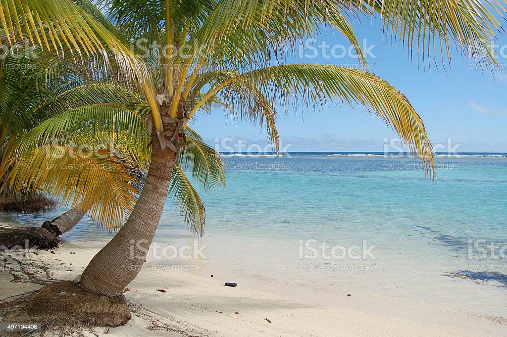 Palm Tree Hangs over Aqua Water Shoreline in Belize stock photo