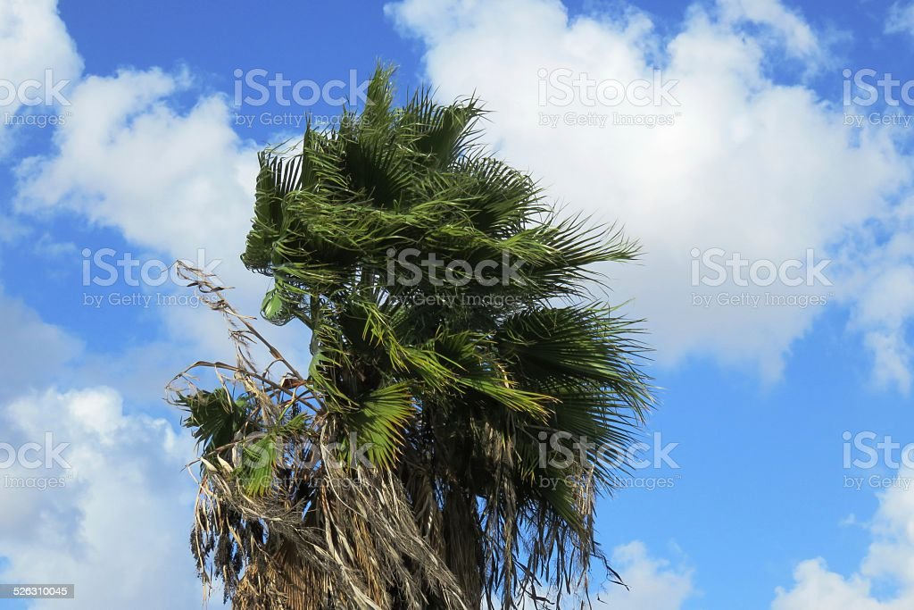 Palm Tree in Balmy Breeze stock photo