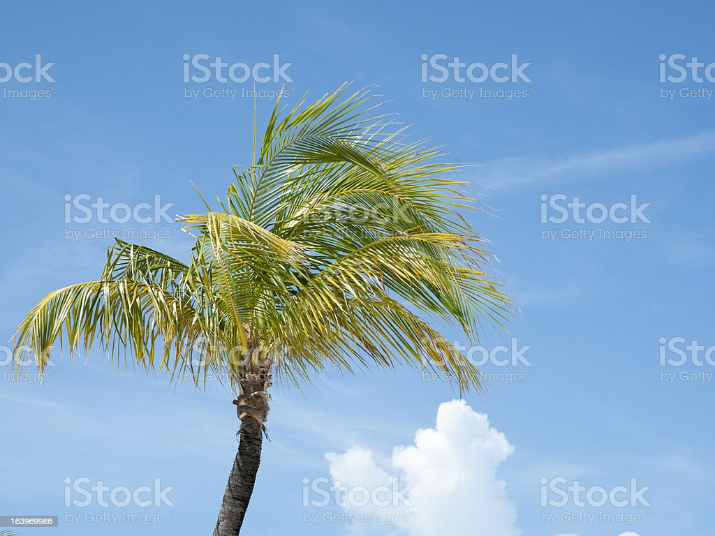 Palm tree in breeze against sky. royalty-free stock photo