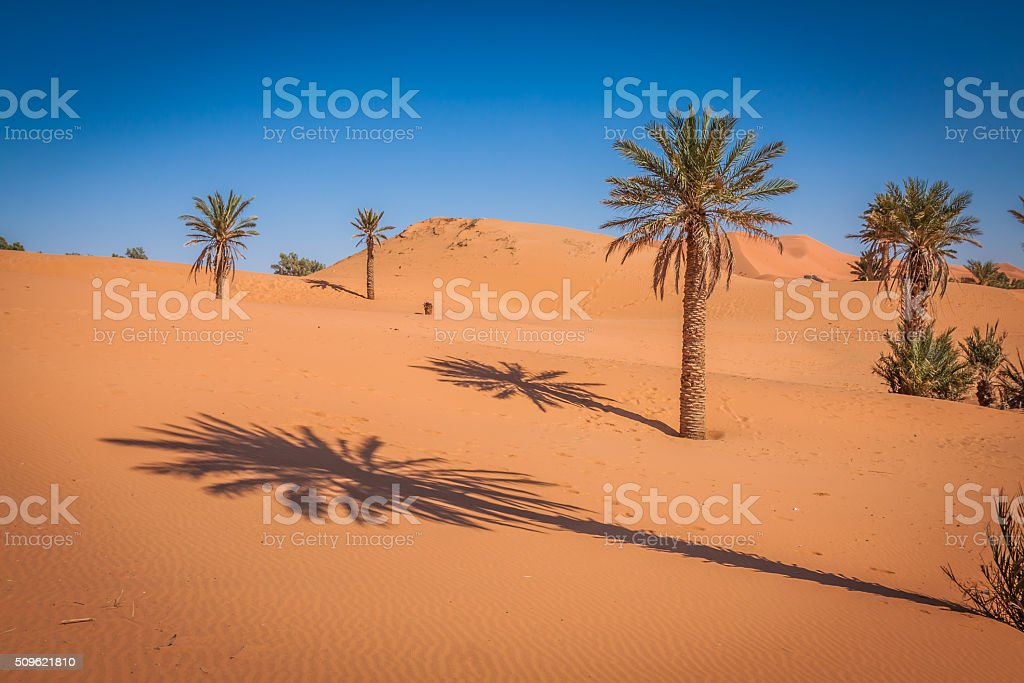 Palm tree in Erg Chebbi, at the western edge stock photo
