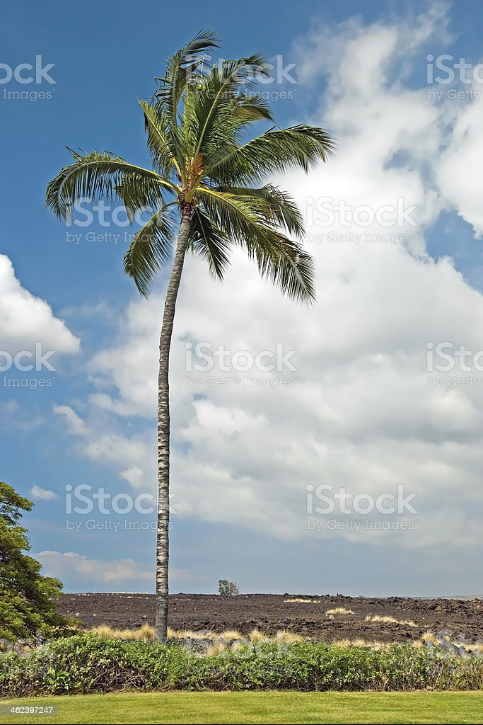 Palm tree in Kona Big Island Hawaii with lava field royalty-free stock photo